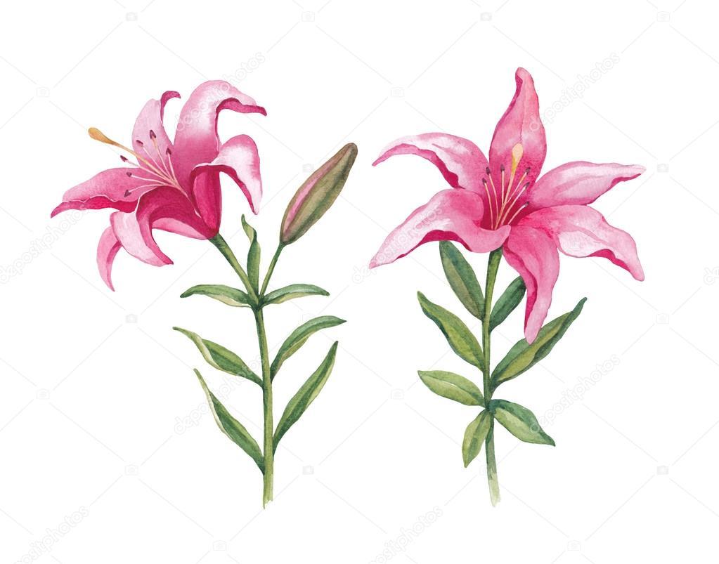 Watercolor Lily Flowers Stock Photo Sashsmir 59831299