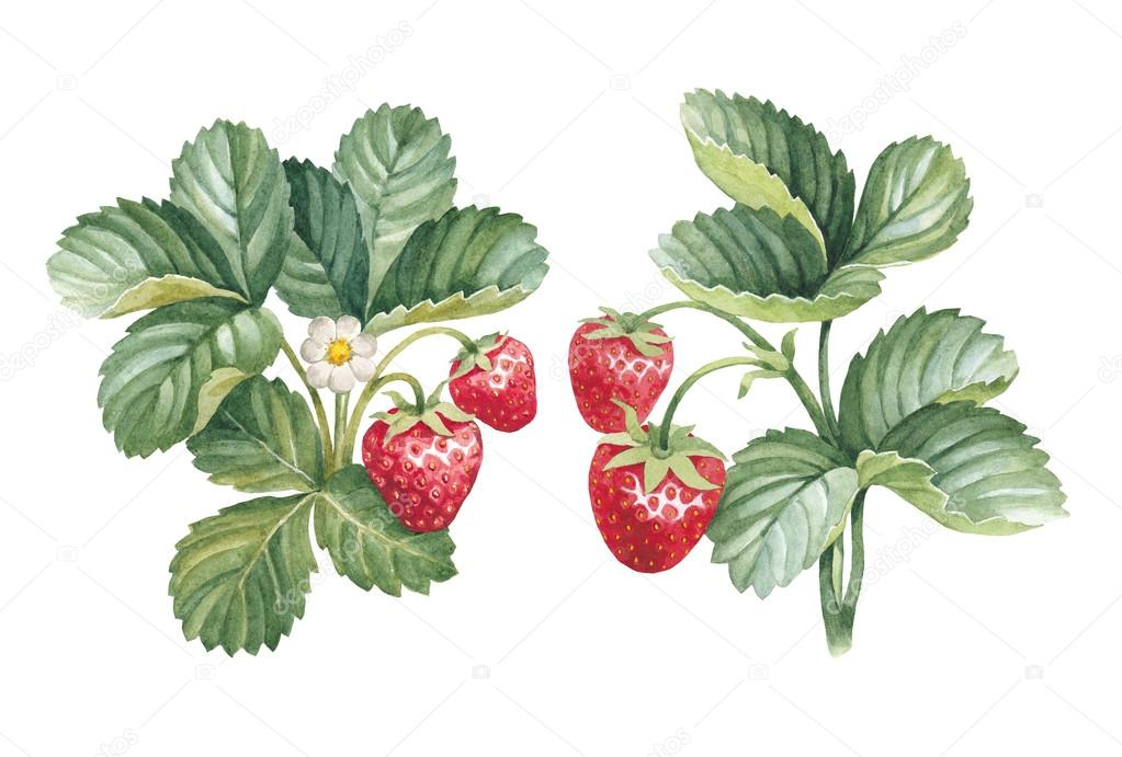 Watercolor strawberry bushes