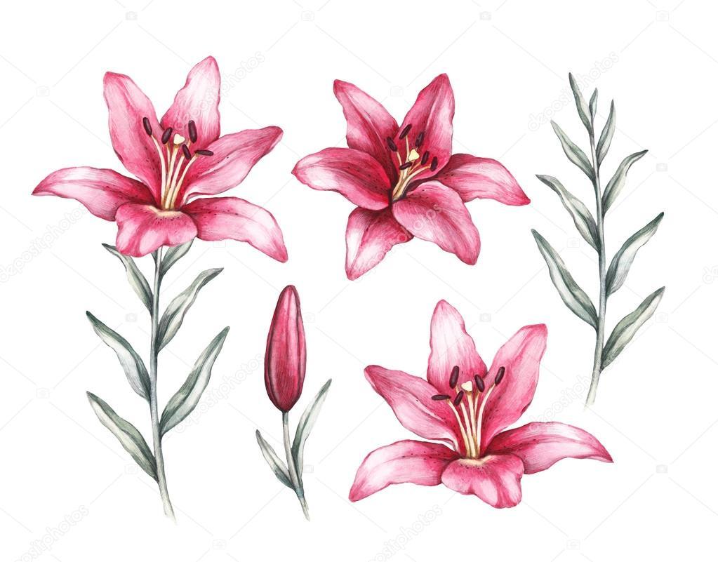 Drawing Of Lily Flower Stock Photo Sashsmir 69691591