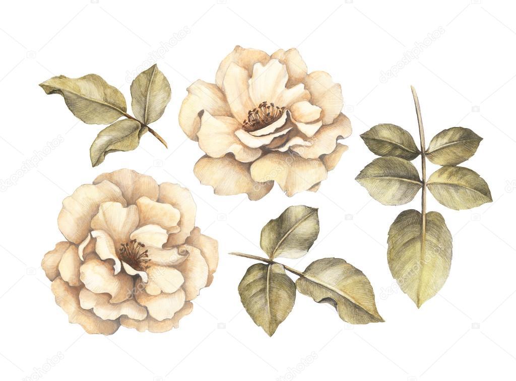 Rosen bleistiftzeichnung  von Rosen — Stockfoto #69691801
