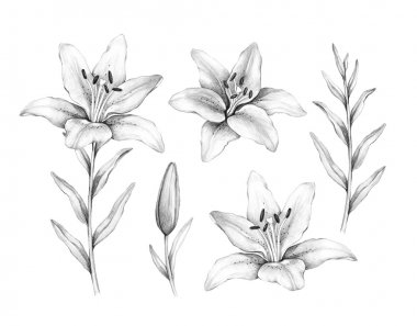 Pencil drawing of lily flower