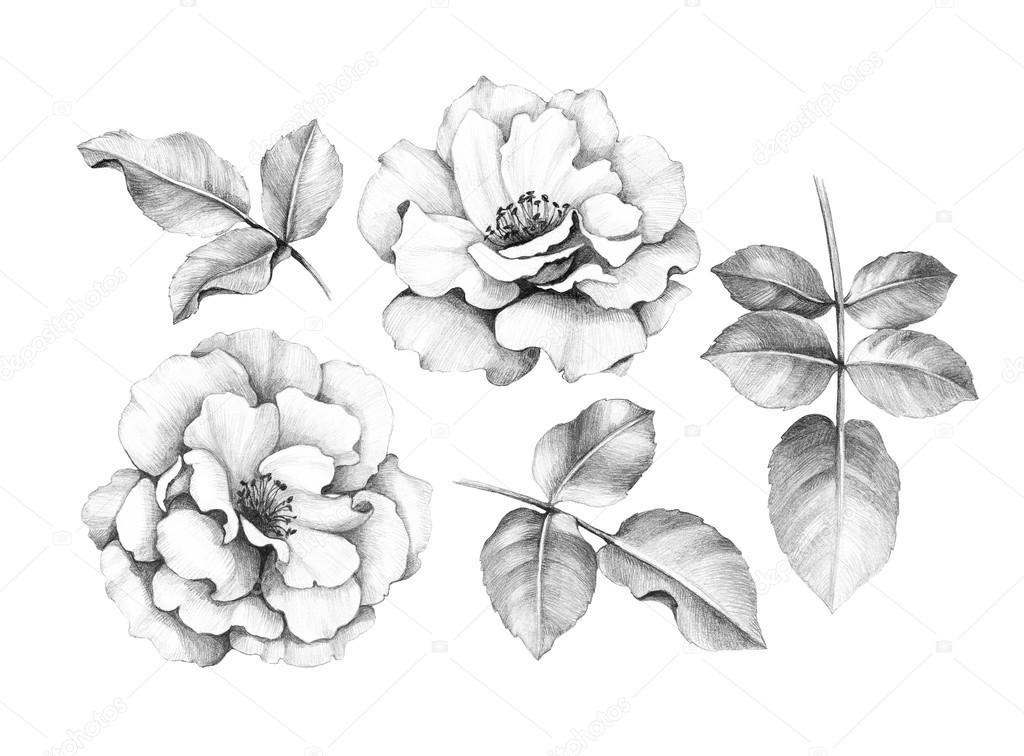 Rosen bleistiftzeichnung  Bleistiftzeichnung von Rosen — Stockfoto © Sashsmir #76210313