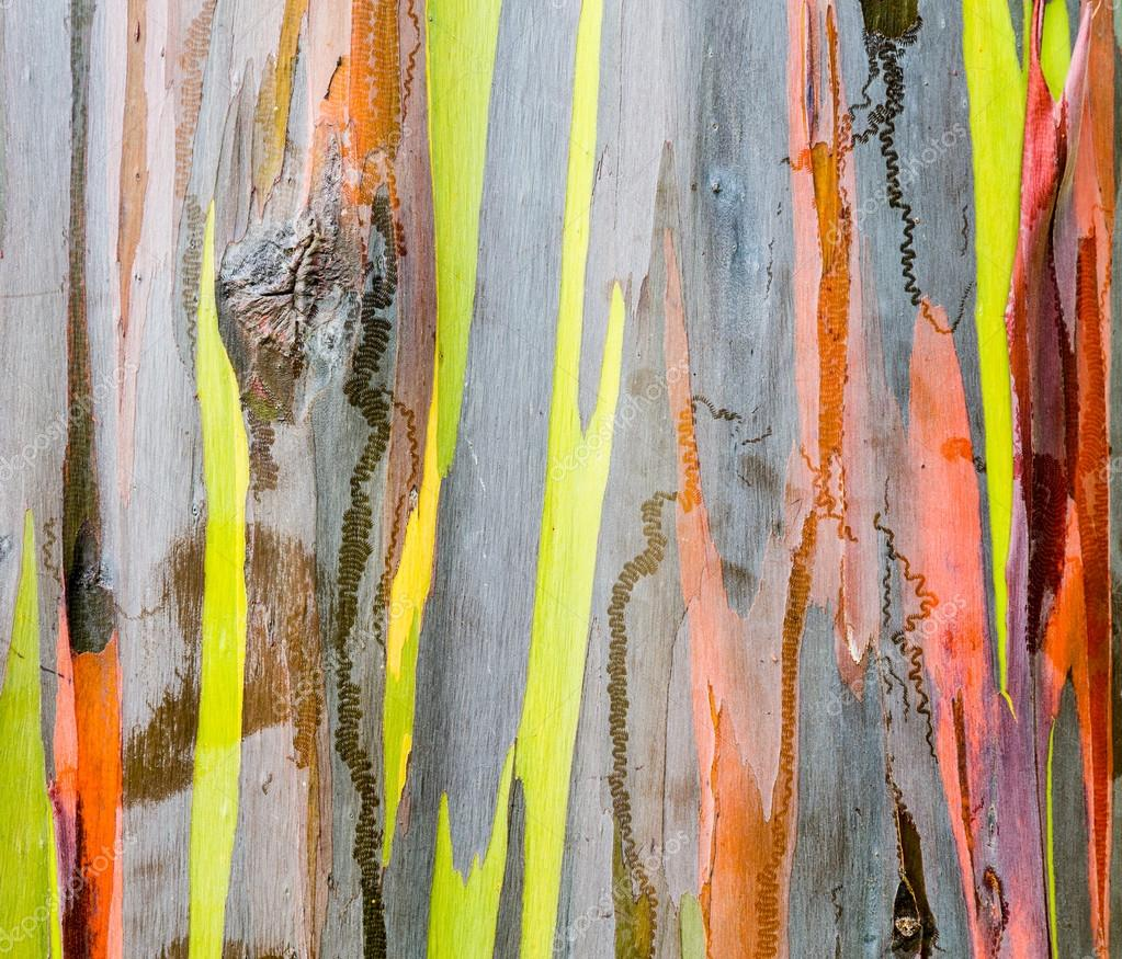 Hawaiian Tree With Multi Colored Bark Detail Of Colorful Bark Of