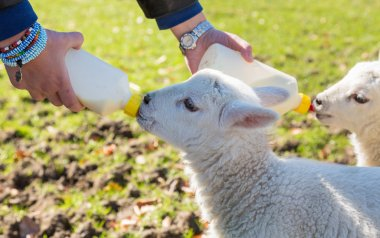 Young adult woman feeding two newborn lambs from bottles
