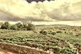 Fotografia Vigneti in Portogallo