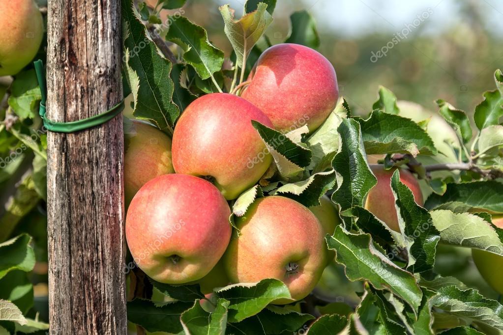 four apples stock photo ninette luz 80712458