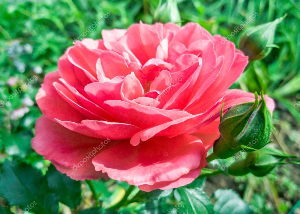 Rose Belle Fleur Rose Photographie Zeffss C 117897084