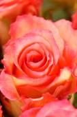 krásné červené růže