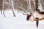 Severní dům jelen