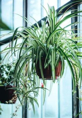 green Chlorophytum flower