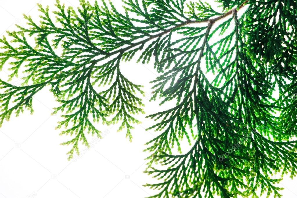 Zypresse-Ast — Stockfoto © Shebeko #122157386