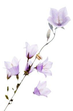 Bluebells flowers isolated on white backround stock vector