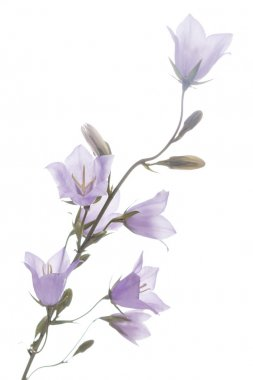 Purple bluebell flowers isolated on white background stock vector