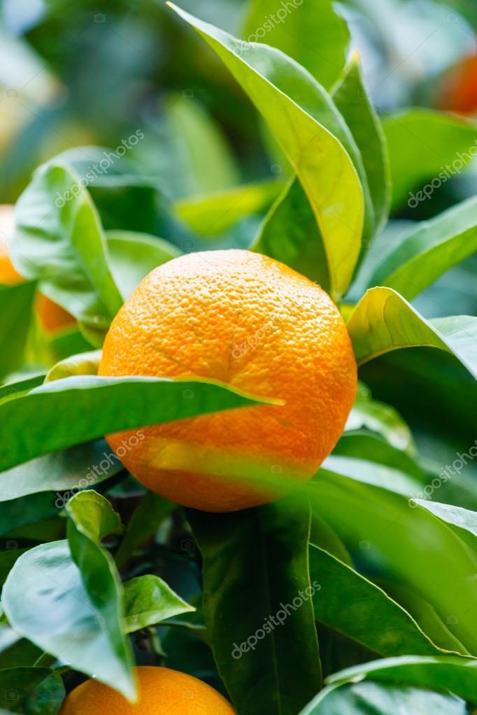 Апельсин на дереве фото