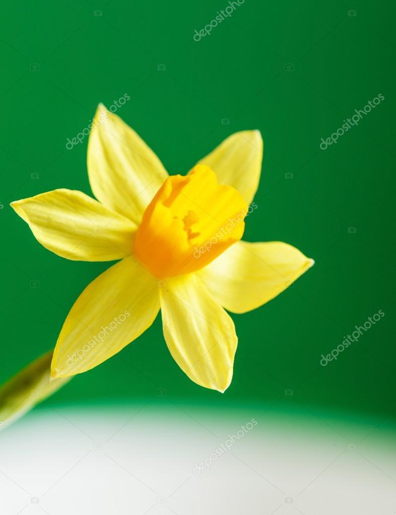 Fiore giallo narciso foto stock shebeko 69876435 for Narciso giallo