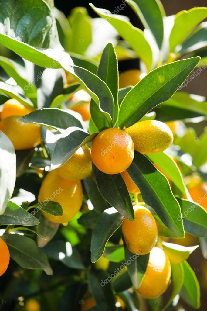 kumquat plant with fruits stock photo shebeko 69877789