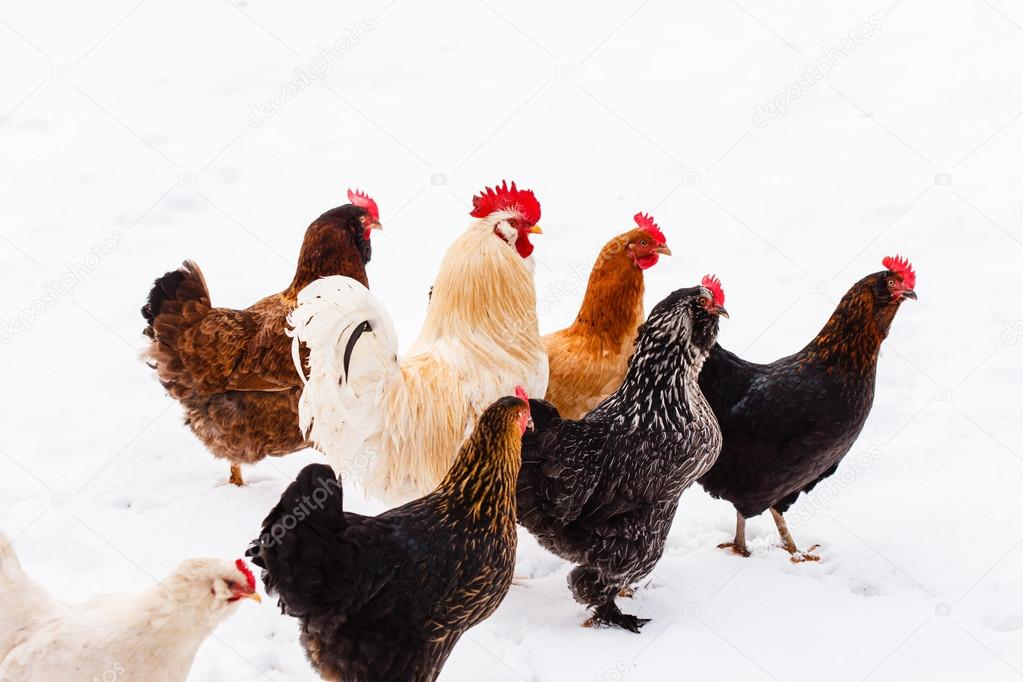 Chickens on the farm at winter