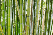 Bambusové stonky closeup