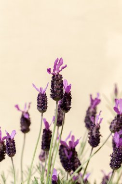 aromatic lavender flowers