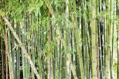 Fotografie Green bamboo forest