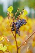 větve hroznů na vinici