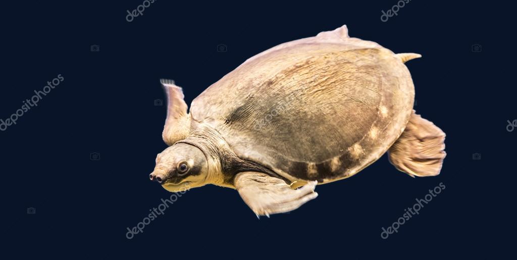 australiano tortuga nariz de cerdo, también la cáscara sin hueso ...