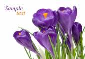 Fialové květy krokusu