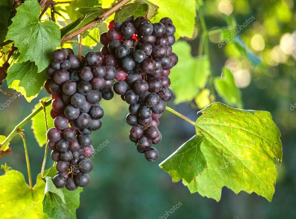 Fresh grapes on the vine branches. agriculture
