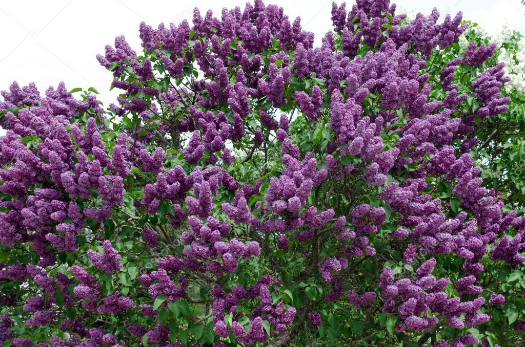 Primo piano di cespugli fioriti fiore lilla contro cielo for Cespugli fioriti per giardino