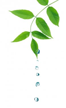 Ecology symbol. Nice twig with green leaves and water drops on white background stock vector