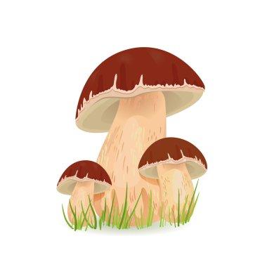 Mushrooms porcini