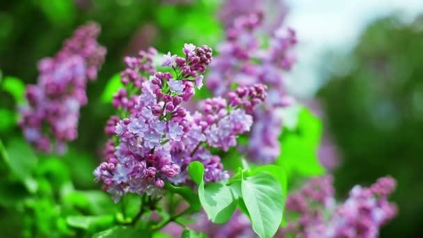 Close-Up Nézd a lila lila virágos virágzat