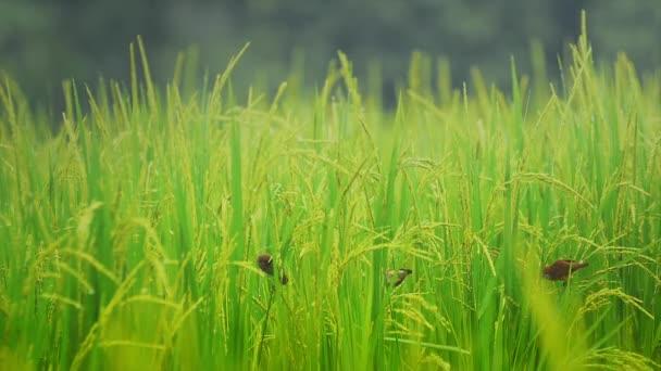 Vögel füttern und fliegen im Reisfeld
