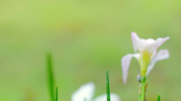 crocus bílé květy