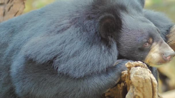 Asian Black bear Ursus Thibetanus