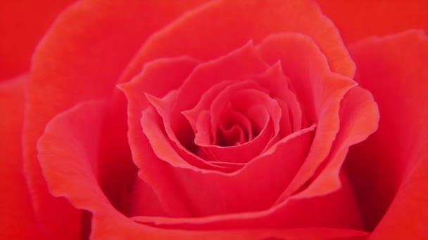 virágzó vörös rózsa virág.