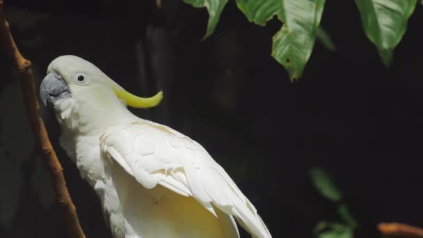 papoušek kakadu bílý