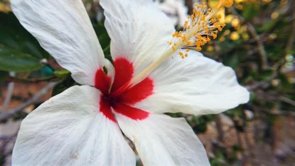 fehér hibiszkusz aloha virág