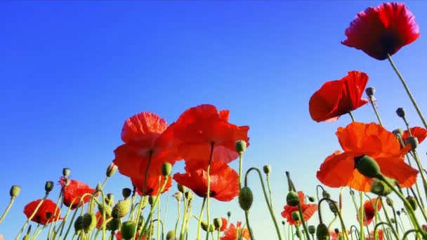 Poppy flowers on  spring field