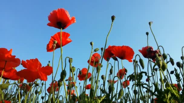 poppies meadow with soft sun light