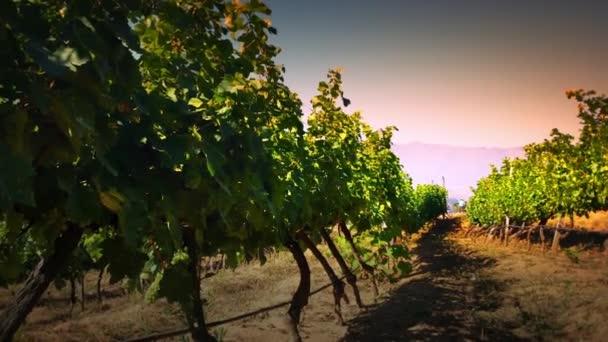 Vinné hrozny vinařství vinice údolí