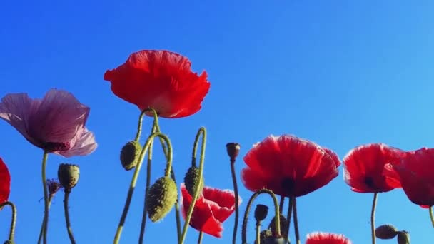 Poppy flowers on the spring field. Blue sky, wind and sun light nature view