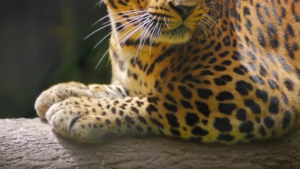 Close up view of eyes of beautiful jaguar (black spotted leopard)