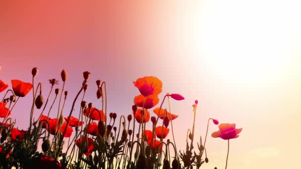 poppy flowers on the wind at sunset