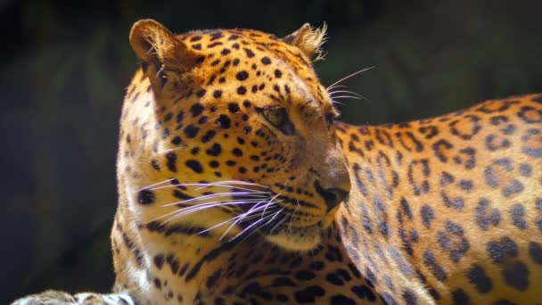 Close up view of yellow leopard