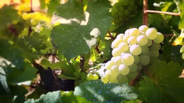 Hroznové víno větev ve vinici