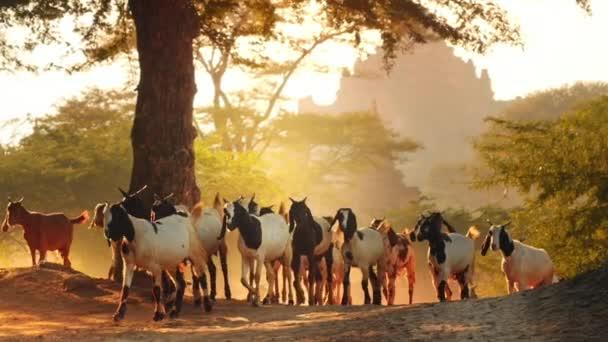 Travel destination in Asia - Bagan historical site in Myanmar. Farm animals