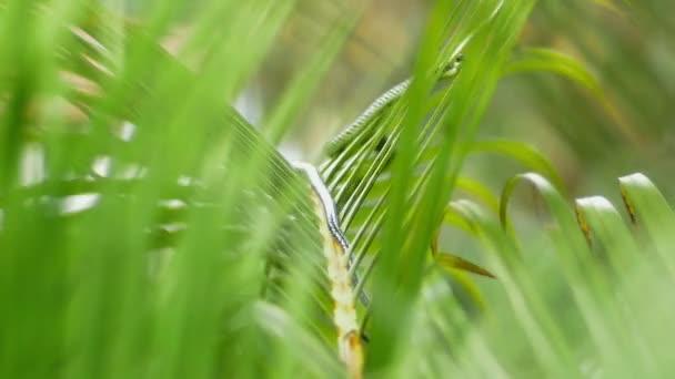 Chrysopelea ornata o Golden Tree Snake