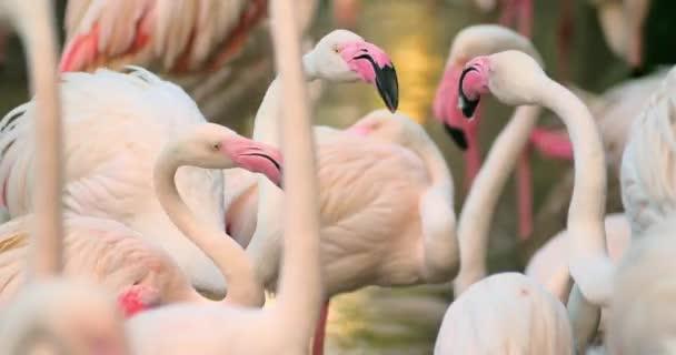 Flamingók rituális tánc