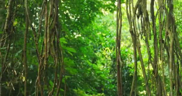 Liana viti e radici aeree nella foresta pluviale